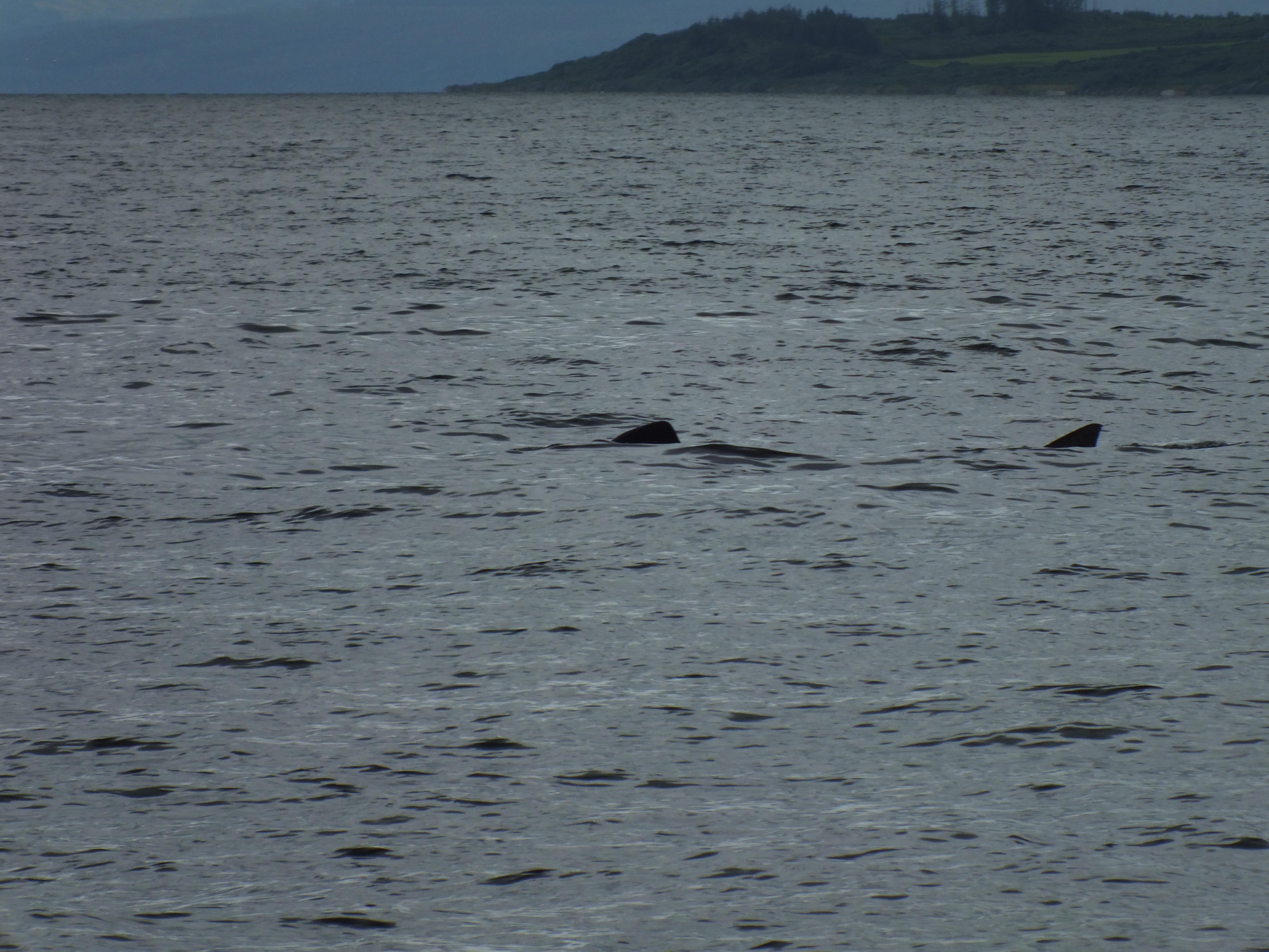 A basking shark at play