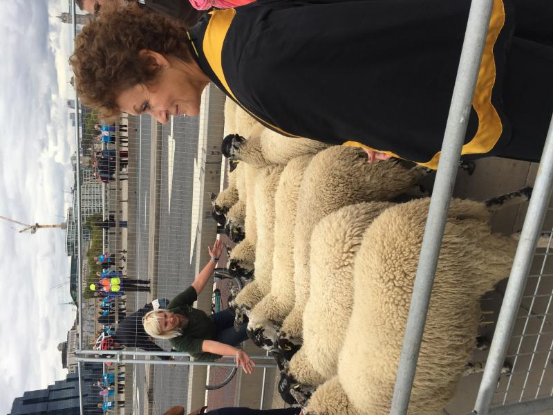 Sheep Drive sheep